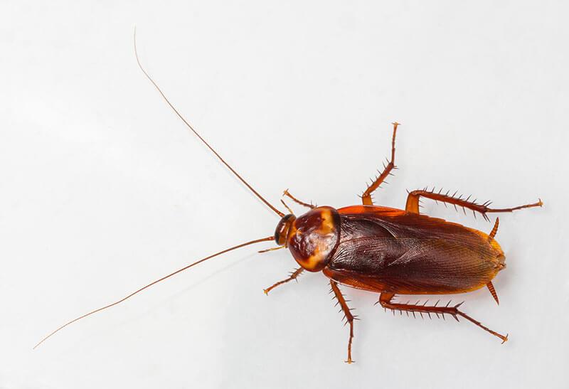 фото тараканы домашние